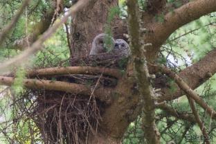 Tawny Owls in Buzzard nest, Forest of Dean (c) Ben Locke