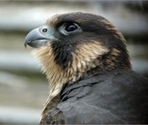 Juvenile Peregrine Falcon. (c) Dave Pearce