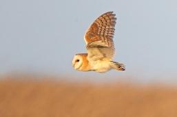 Barn Owl (c) Colston Durbin