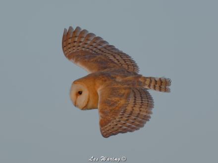 Barn Owl (c) Les Waring