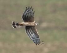 Hen Harrier Juv Dec 2011 (c) Jon Watson