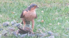 Sparrowhawk (c) Margaret Towers.