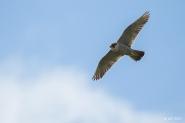 Peregrine Falcon, Forest of Dean. (c) Ben Locke