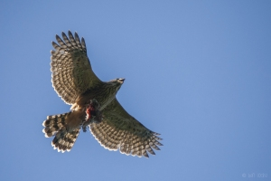 Juvenile Goshawk, Forest of Dean (c) Ben Locke