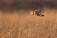Short-eared Owl (c) Ben Locke