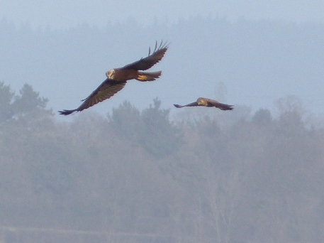 Marsh Harrier (F) and Kestrel (F) (c) Gordon Kirk