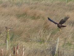 Marsh Harrier (F) and Kestrel (F) (c) Gordon Kirk