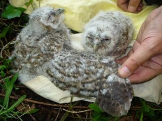 Tawny Owl chicks (c) Mervyn Greening