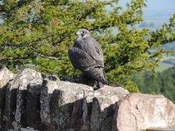 Peregrine juvenile Symonds Yat Rock July 2013 (c) Russ Peacey