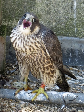 Juvenile Peregrine Falcon. Metal ring on right leg and the larger coloured ring on the left leg. (c) Dave Pearce