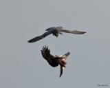 Adult female Peregrine attacks an inverted Common Buzzard (c) Jon Watson
