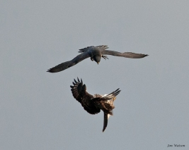 Adult female Peregrine attacks an inverted Common Buzzard (c) Jon Watson