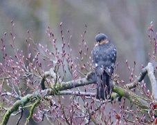 Sparrowhawk, Symonds Yat, Jan 2014 (Jon Watson)