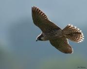 Symonds Yat juvenile in flight July 20th 2013 (c) Jon Watson
