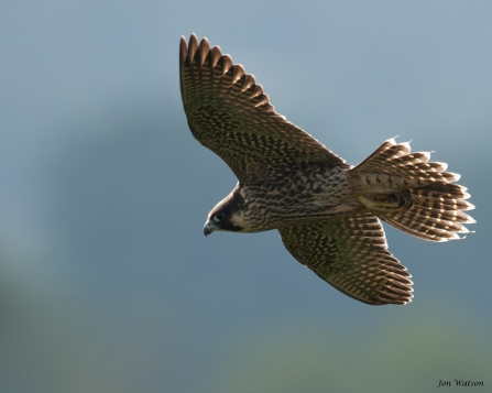 Symonds Yat juvenile in flight July 20th 2013 (c) Jon Watson
