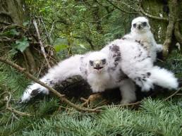 Goshawk chicks (c) Scott Marshall