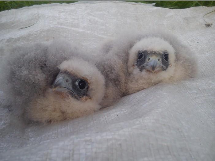 Hobby Chicks (c) Scott Marshall