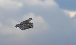 Barn Owl (c) Andrew Bluett