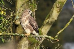 Common Buzzard (c) Andrew Bluett