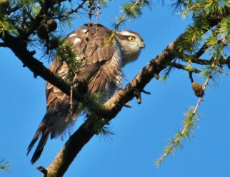 Sparrowhawk (c) Paul Watkins