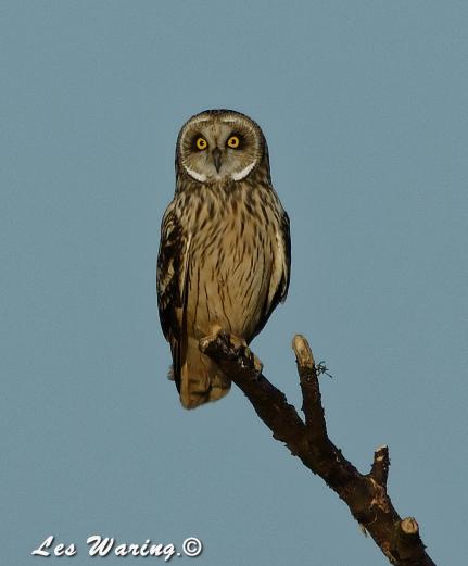 Short-eared Owl (c) Les Waring