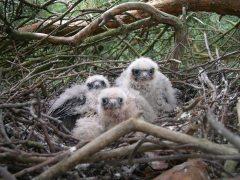 Hobby chicks (c) Paul Paulussen
