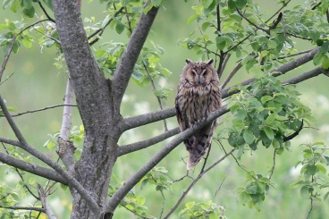 Long-eared Owl (c) Bob Telford