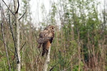 Long-eared Owl (c) Bob Telford