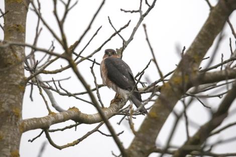 Sparrowhawk (c) Ben Locke