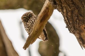 Little Owl (c) Sam Crofts