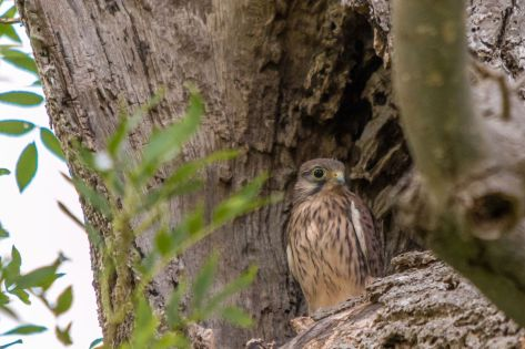 Kestrel (c) Sam Crofts