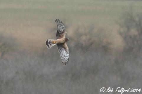 Hen Harrier (c) Bob Telford