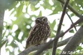 Little Owl (c) Bob Telford