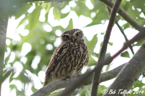 Little Owl (c) Bob Telford