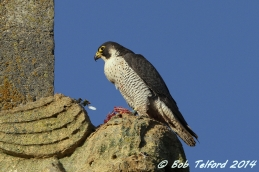 Peregrine Falcon (c) Bob Telford