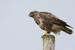 Common Buzzard (c) Ben Locke
