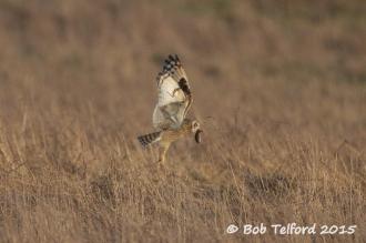 Short-eared Owl & vole (c) Bob Telford