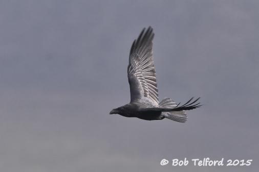 Raven (c) Bob Telford