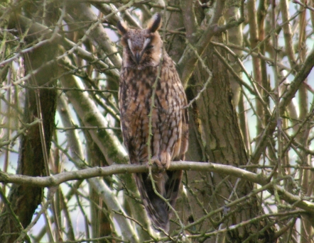Long-eared Owl (c) Ian Elphick