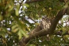 Little Owl (c) Ben Locke