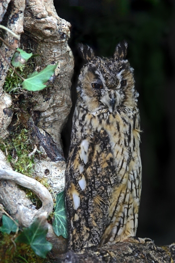 Long-eared Owl (c) Mark Hope