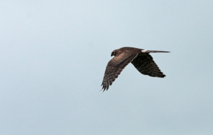 Montagu's Harrier Female (c) Andrew Bluett
