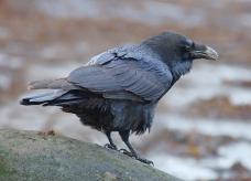 Raven (c) Mark A Hope