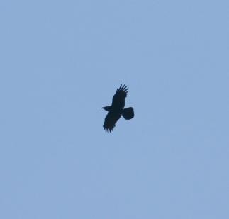 Raven (c) Andrew Bluett