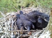 Raven Chicks (c) Scott Marshall