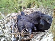 Raven Chicks (c) Scott Marshall
