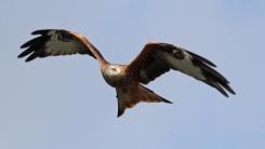 Red Kite (c) Andrew Bluett