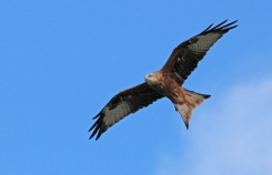 Red Kite (c) Andrew Bluett