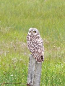 Short-eared Owl (c) Andrew Bluett