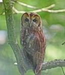 Tawny Owl (c) Andrew Bluett